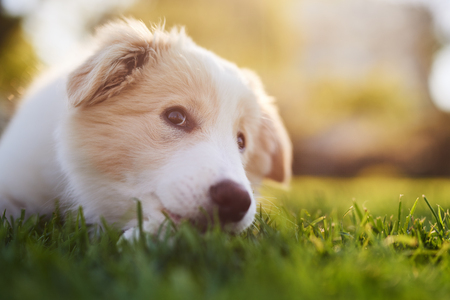 Great Fluffy Canine Adorable Dog - 80887443-ee-red-border-collie-puppy-lying-down-on-green-grass-cute-dog-animal-purebred-pedigree  Best Photo Reference_916690  .jpg?ver\u003d6