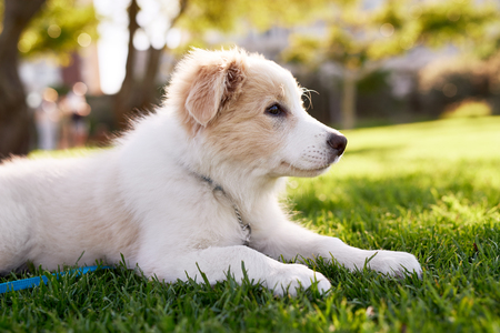 Cute fluffy border collie puppy in park, adorable dog pet purebred canine pedigree