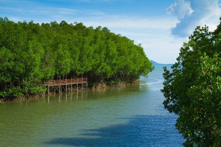 mangrove forest: Green mangrove forest