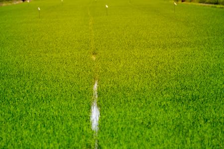 Row of rice field. Stock Photo