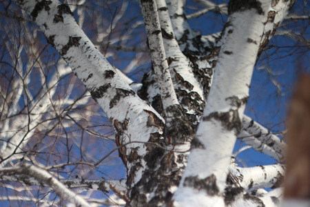 birch branches on a background of clear winter sky