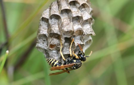 Yellow striped wasp examines the new dwelling