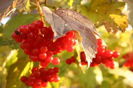 useful: Cluster of berries of a guelder-rose red in beams of the evening sun