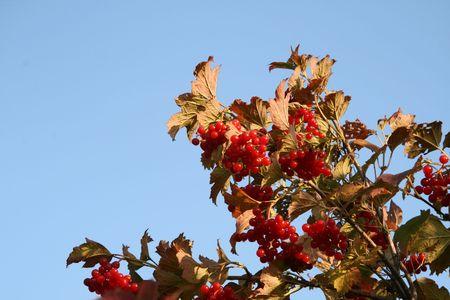 guelderrose: Guelder-rose red on a background of the blue sky