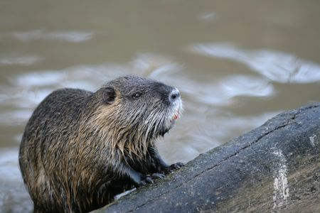 Beaver from a reservoir of a zoo in Berlin