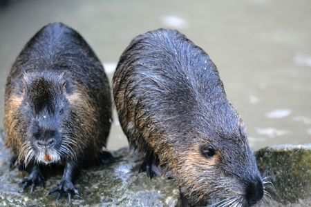 Two beavers on coast of a pond in a zoo of Berlin