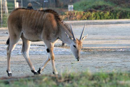 grazer: Antelope in a zoo of city of Berlin