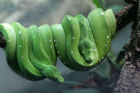 Two green wood snakes in a zoo of Berlin