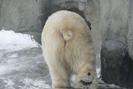 back ass: Ass of a polar bear in a zoo of Moscow Stock Photo