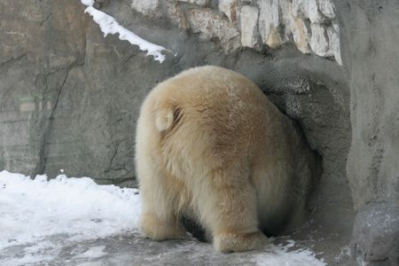 Polar bear getting into a hole in a zoo of Moscow