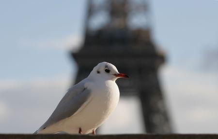 deiffel: The seagull on a background of Tour dEiffel
