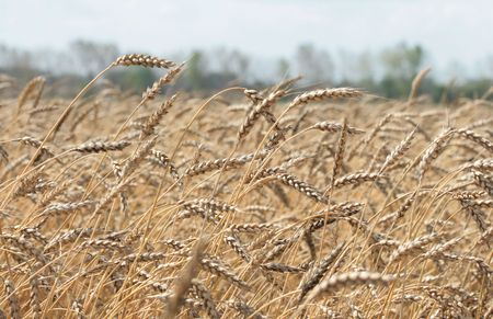 The wheaten field is ready to harvesting photo