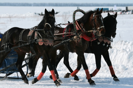 Winter walk on horses in a vehicle photo