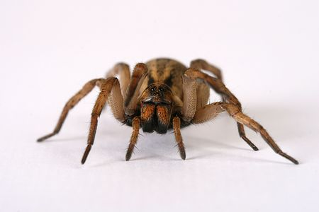 wolf spider: isolated wolf spider front vie Stock Photo