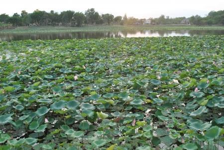 coatings: Lotus Leaf evening Stock Photo