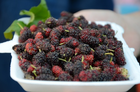 Mulberry or Mulberry is a science that is in the family Moraceae Morus alba, is the only type of food, natural silk worms Stock Photo