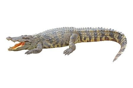 Crocodile white background Фото со стока