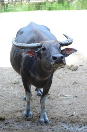 Buffalo black photo