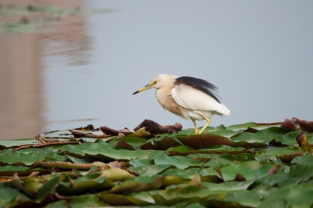 The birds are feeding on the lotus leaf photo