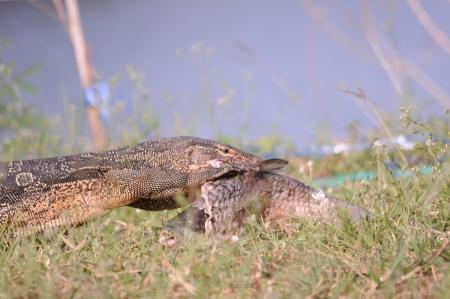 salvator: Varanus salvator eating fish Stock Photo
