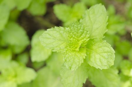 Lemon balm Metha cordifolia Opiz  photo