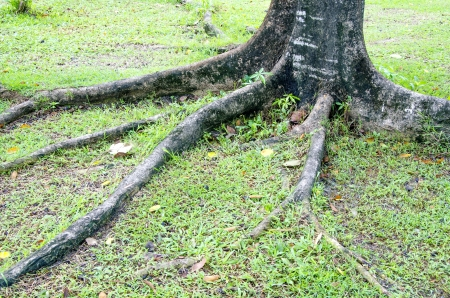 Tree roots  photo