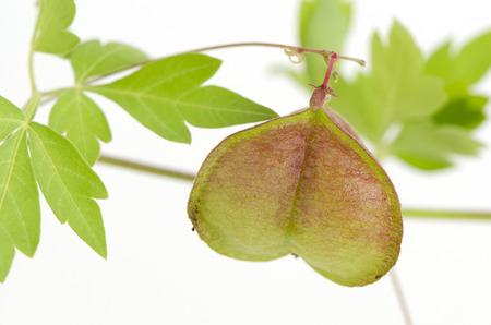 バルーンつる、フウセンカズラ、心の種子、スムーズの広葉樹フウセンカズラ (Cardiospermum Halicacabum リン)薬効を持つハーブ。