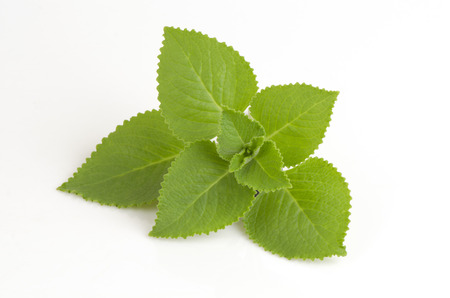 Country Borage, Indian Borage, Coleus amboinicus Lour (Plectranthus amboinicus (Lour.)) Herbs with medicinal properties.