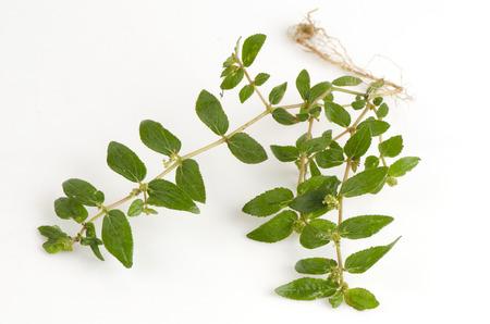 hirta: Garden Spurge (Euphorbia hirta L.) Herbal warts treatment groups.