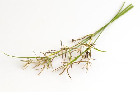 linn: Nut grass, Purple nutsedge, Nutsedge (Cyperus rotundus Linn.). Stock Photo
