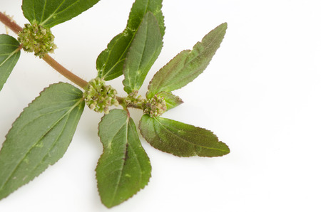 warts: Garden Spurge (Euphorbia hirta L.) Herbal warts treatment groups.