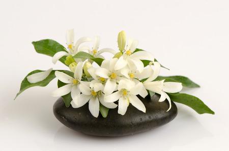 jessamine: Orange Jessamine, Satin-wood, Cosmetic Bark Tree, spa scent on lotus leaf. Stock Photo