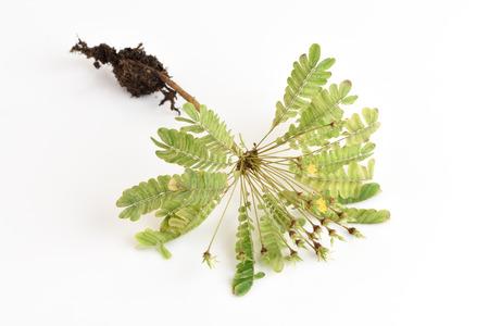 oxalidaceae: Biophytum sensitivum on white