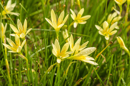 Yellow Zephyr Lily, Rain Lily or Zephyranthes Candida, Rain lilies, flowers. photo