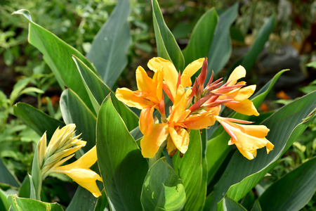 colic: Indian shot, Canna (Canna spp. and hybrid) Stock Photo