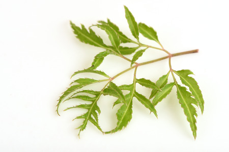 Ming aralia (Polyscias fruticosa Harms.).