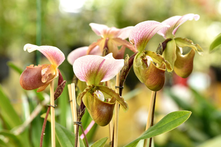 lady slipper: Lady slipper orchid, Paphiopedilum