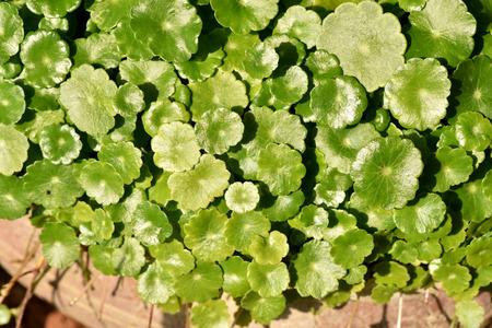 asiatica: natural fresh Water Pennywort or Centella asiatica leaf.