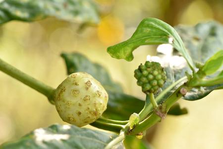 noni fruit: Noni Fruit. Stock Photo