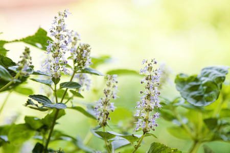 Grass Jelly (Mesona chinensis), leaves and flowers. 스톡 콘텐츠