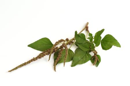 thai herb: Amaranth, Green Amaranth Amaranthus gracilis Desf..