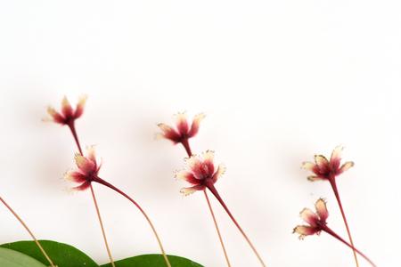ex: Tropical leaf-flower Phyllanthus pulcher Wallich ex Muell. Arg..
