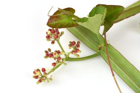gado: Tinospora cordifolia (Willd), medicinal herbs, Thailand.