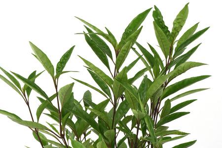 fragilis: Justicia fragilis Wall., Gendarussa vulgaris Nees: Medicinal herbs.