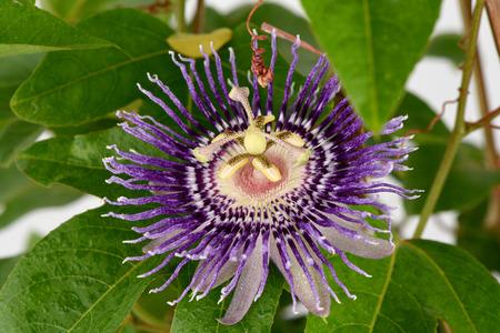 passiflora: Passion flower (Passiflora) Stock Photo