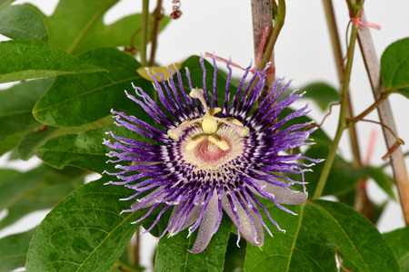 fetid: Passion flower (Passiflora) Stock Photo