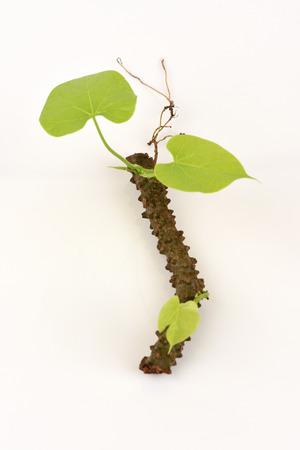 Tinospora crispa (L.) Hook. f. & Thomson tree. Фото со стока