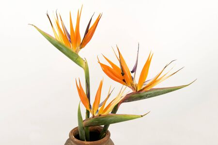 Bird of paradise,flowers in a vase on a white background.
