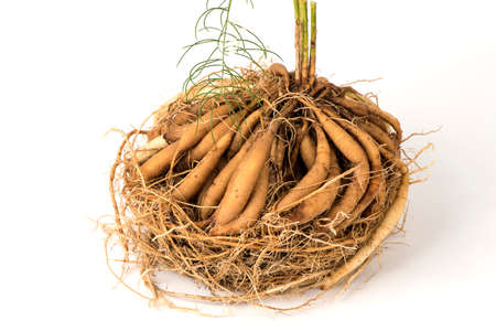 Shatavari (Asparagus racemosus Willd.) Tonic herb for women. Helps balance the female hormonal system , Vaginal tightening, slimming aids, skin, help slow down aging, reduce body odor and bad breath.