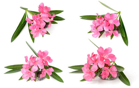 Oleander, Sweet Oleander, Rose Bay (Nerium oleander L.) plants, herbs have medicinal properties, and the plant is poisonous oleander leaves used as rat poison and insecticides. Reklamní fotografie